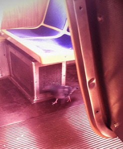 pigeon on the train